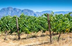 Wijnstok in wijngaard dichte omhooggaand op hete de zomer` s dag royalty-vrije stock afbeeldingen