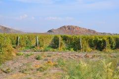 Wijnstokaanplantingen in het Armeense dorp van Lusarat Stock Afbeelding