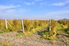 Wijnstokaanplantingen in het dorp van Lusarat armenië Stock Foto