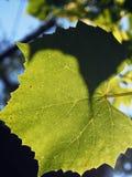 Wijnstokblad met Zonlicht Stock Afbeeldingen