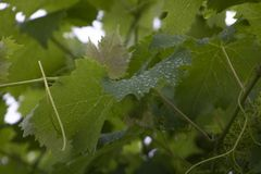 Wijnstokbladeren met dauw royalty-vrije stock fotografie