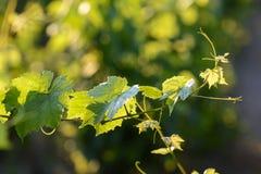 Wijnstokbladeren met ochtendlichten Royalty-vrije Stock Fotografie