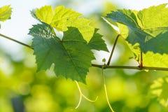 Wijnstokbladeren met ochtendlichten Stock Afbeelding