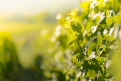 Wijnstokbladeren met ochtendlichten Stock Foto