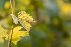 Wijnstokbladeren met ochtendlichten Royalty-vrije Stock Afbeelding