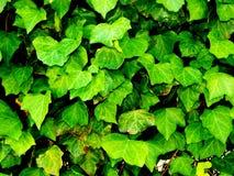 Wijnstokbladeren in Wales Stock Afbeeldingen
