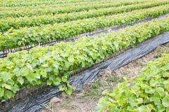 Wijnstokjonge boompjes royalty-vrije stock afbeelding