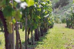 Wijnstokken stock afbeeldingen