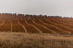 wijnstokken Stock Afbeelding