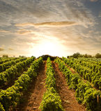 Wijnstokken aan zonsondergang Royalty-vrije Stock Fotografie