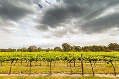 Wijnstokken in Barossa stock afbeeldingen