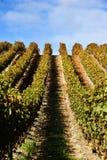 Wijnstokken bij wijngaard Stock Foto's