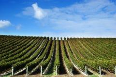 Wijnstokken bij wijnmakerij Royalty-vrije Stock Afbeeldingen