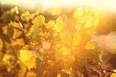 Wijnstokken bij zonsondergang Royalty-vrije Stock Fotografie
