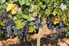 Wijnstokken in de herfst Stock Afbeeldingen