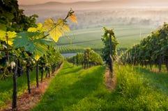 Wijnstokken in de zomer Stock Fotografie