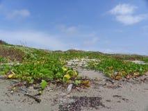 Wijnstokken die op de Duinen groeien stock fotografie
