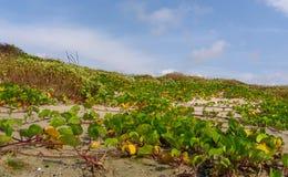 Wijnstokken die op de Duinen groeien royalty-vrije stock foto