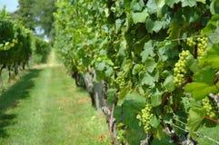Wijnstokken in een Wijngaard Royalty-vrije Stock Fotografie