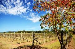 Wijnstokken in een Wijngaard royalty-vrije stock foto's