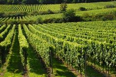 Wijnstokken in een wineyard Stock Afbeelding