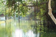 Wijnstokken en boom op water Stock Fotografie