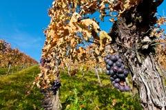 Wijnstokken en bossen van druiven Royalty-vrije Stock Afbeelding