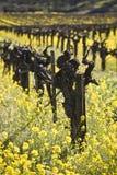 Wijnstokken en de Bloemen van de Mosterd, Vallei Napa Stock Foto