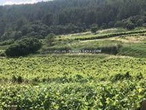 Wijnstokken in Frankrijk Stock Afbeeldingen