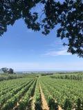 Wijnstokken in Italië aan de oceaan Royalty-vrije Stock Afbeelding