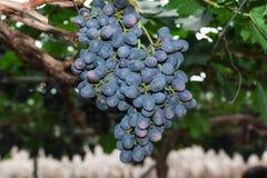 Wijnstokken met Bossen van Druiven royalty-vrije stock afbeelding