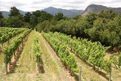 Wijnstokken, Montague, Route 62, Zuid-Afrika Stock Foto's