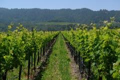 Wijnstokken in Napa-Vallei Californië Royalty-vrije Stock Foto