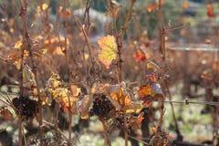 Wijnstokken in November, zuiden van Frankrijk Royalty-vrije Stock Foto