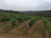 Wijnstokken op een bewolkte dag Stock Fotografie