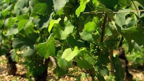 Wijnstokken op een wijngaard in Frankrijk stock videobeelden