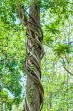 Wijnstokken rond bomen worden verpakt die Royalty-vrije Stock Foto