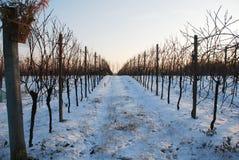 Wijnstokken in Sneeuw bij Schemer Royalty-vrije Stock Afbeelding