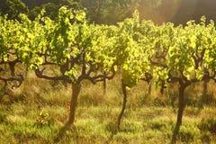 Wijnstokken, Stellenbosch, Zuid-Afrika Royalty-vrije Stock Foto's