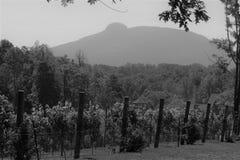 Wijnstokken van proefberg Stock Foto
