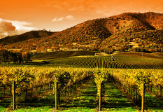 Wijnstokken in Wijngaard bij Zonsondergang Stock Afbeelding