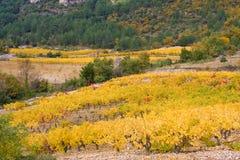 Wijnstokken in wijngaarden Stock Fotografie