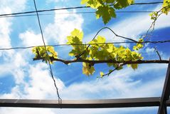 Wijnstoktak over blauwe hemel Stock Afbeelding