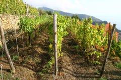 Wijnstokwerf in Ligurië Italië Stock Fotografie