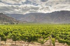 Wijnstokwerven in Cafayate Royalty-vrije Stock Foto's