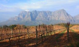 Wijnstokyard Stellenbosch Southafrica Delaire Graff stock foto
