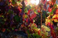 Wijnwijnstok Royalty-vrije Stock Afbeeldingen