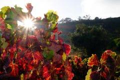Wijnwijnstok Stock Foto