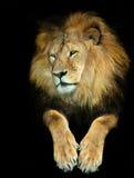 Wijze leeuw royalty-vrije stock foto's
