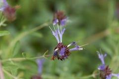 Wijze Salvia clevelandiibloemen van Cleveland royalty-vrije stock foto